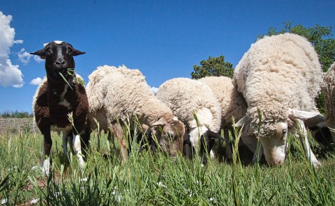 close-up photo of sheep in a pasture